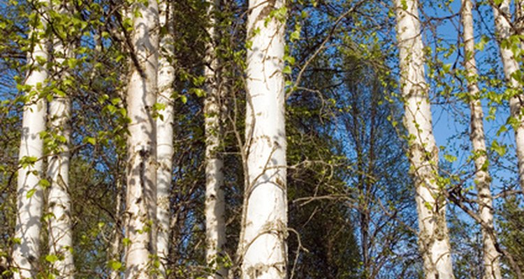 Tall and majestic, birch tress offer a natural beauty. However, sometimes the tree must be removed.