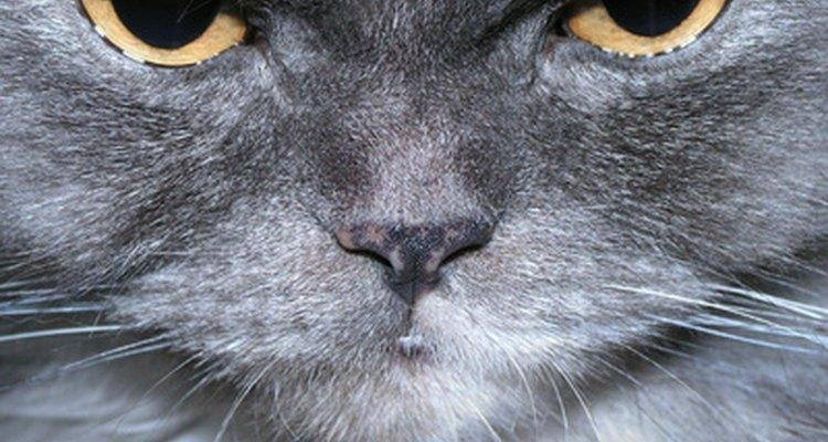 A atrofia testicular vai afetar a fertilidade do gato
