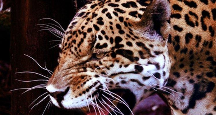 Los jaguares son los depredadores más grandes en los bosques tropicales de América del Sur.