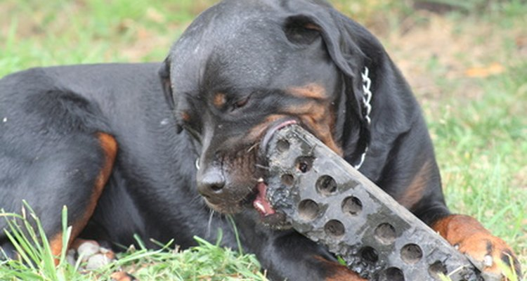 Cachorro mastigando