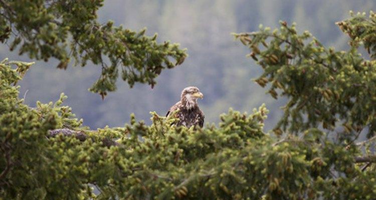 El águila joven puede permanecer cerca del nido por varios meses luego de aprender a volar.