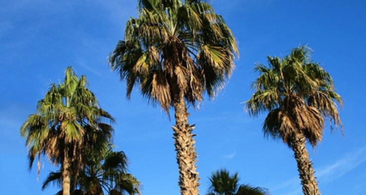 Folhas amareladas de palmeira podem ser sinal de uma doença potencialmente fatal