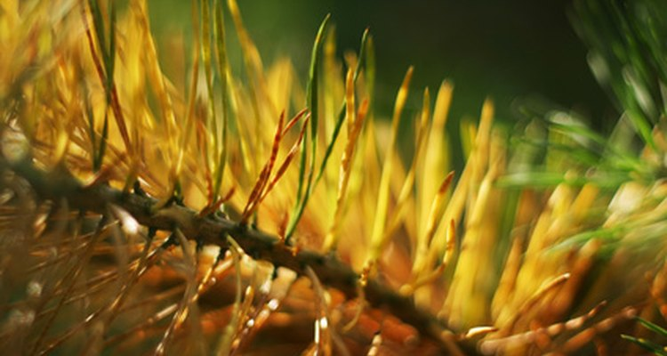 Pines with yellowing needles need should be closely looked at for signs of disease.