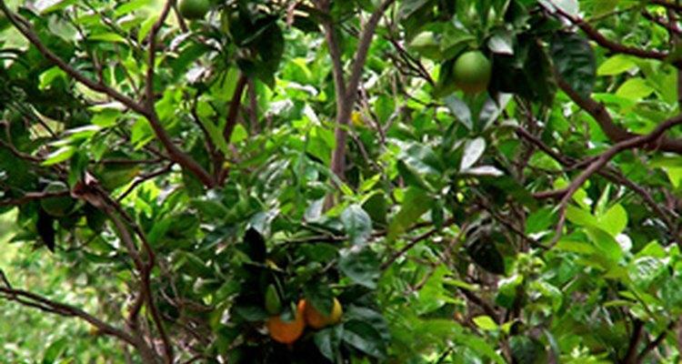 Los minadores de hojas atacan frecuentemente a los árboles cítricos.