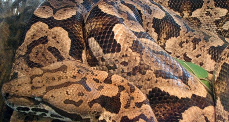 Digerir el esqueleto de la presa permite a la serpiente restablecer una estructura interna.