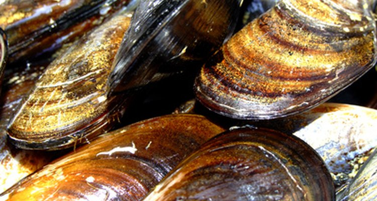 Mussels are shellfish cousins to oysters and clams.