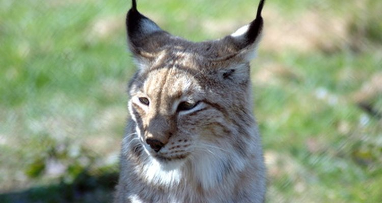 The Iberian Lynx of Spain is facing extinction.
