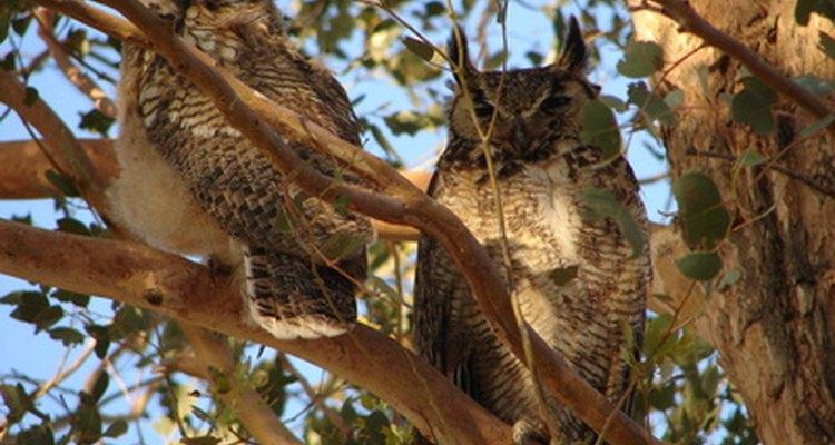 Great horned owls live in woodlands.