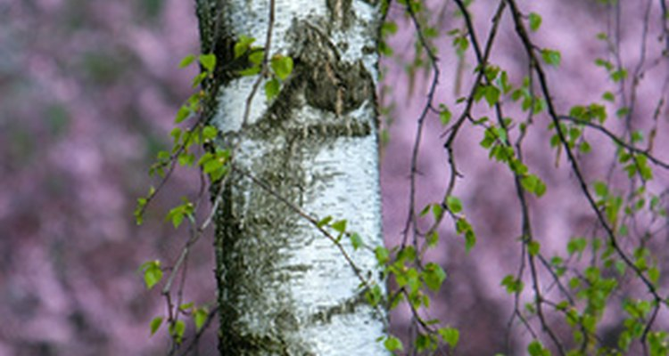 Birch trees are popular in landscaping because of their brilliant white bark.