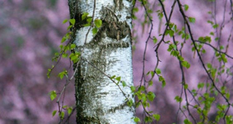 Un árbol de abedul tiene simbolismos diversos.