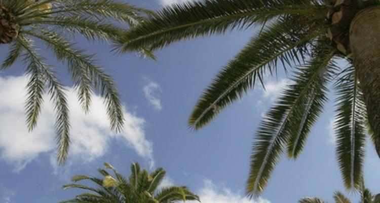 As folhas de palmeiras podem tornar-se manchadas quando o fungo estiver presente