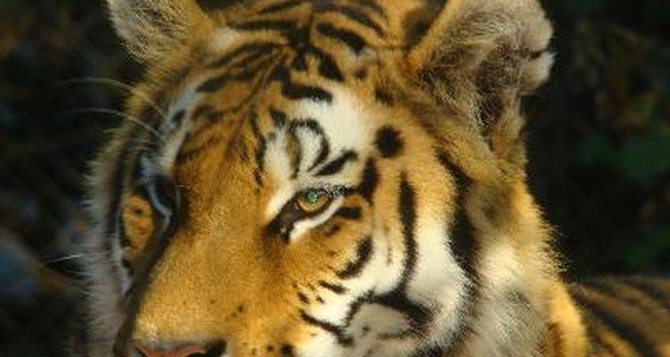 Los tigres son asesinados por sus órganos, pieles y huesos, que se utilizan en la medicina oriental.