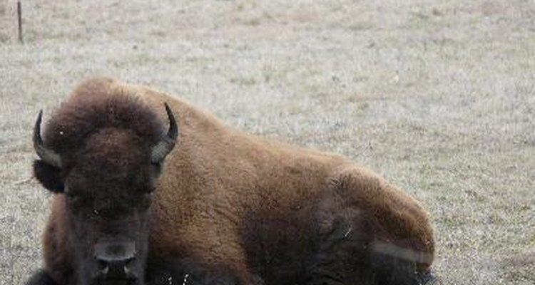 Por qué casi se extinguieron los bisontes.