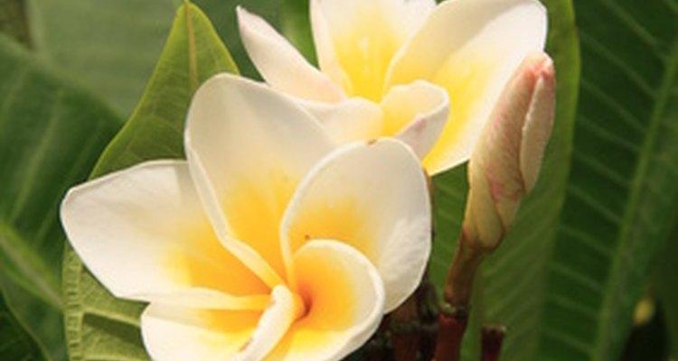 As doces flores de plumérias nascem em árvores havaianas que crescem até 9 metros