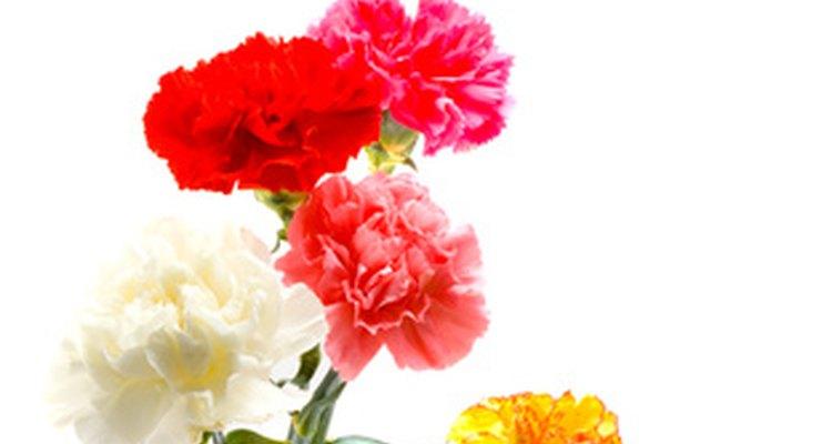 As várias cores de cravos têm significados diferentes na floriografia