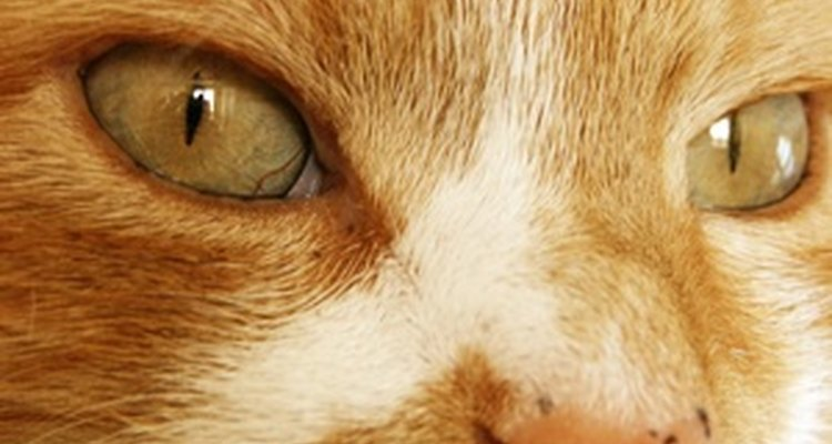 Nasal tumours in cats usually occur in the nasal cavity.