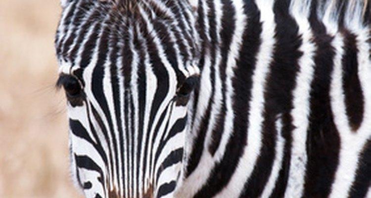 Esta planta adquiere su nombre por su similitud con el pelaje de la cebra.