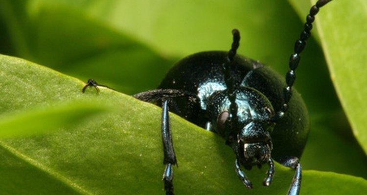 Enquanto a maioria dos besouros são negros, várias variedade possuem cores vibrantes