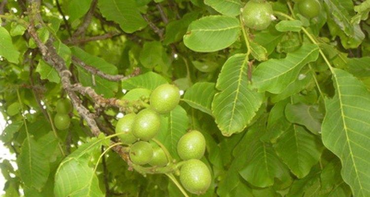 Some plants will thrive under English walnut trees.