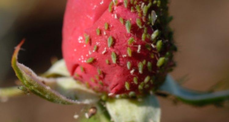 Los jabones insecticidas funcionan bien en las infestaciones más pequeñas de los áfidos y otras plagas.