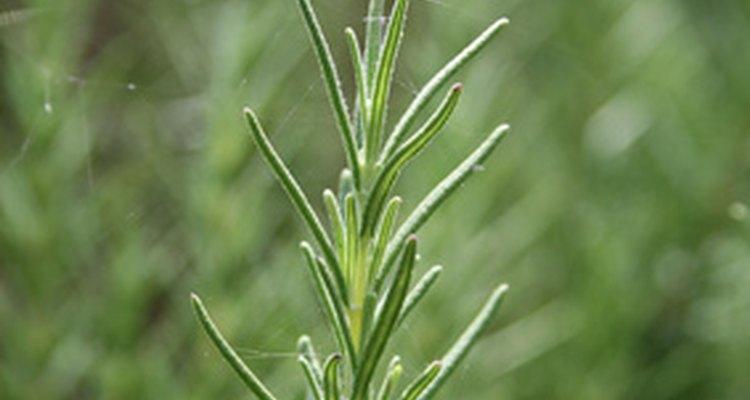 Las hojas perennes vienen en todo tipo de formas, incluyendo este romero.