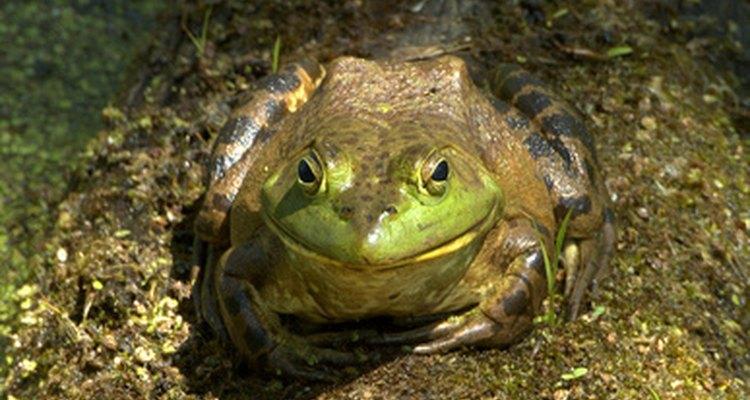 La rana toro se lanzara a todo lo que le quepa en su boca.