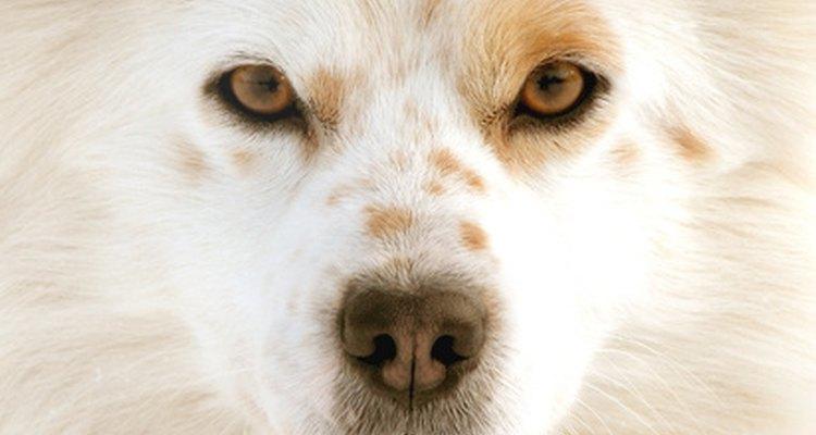 Tratar el ojo hinchado de un perro.