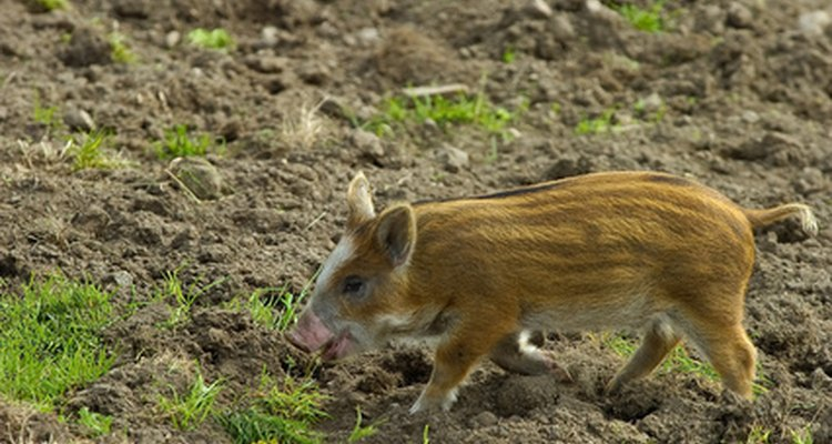 Pigs that roam freely can carry pork tapeworm