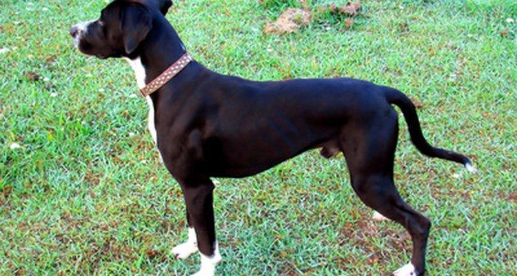 Los mejores perros para la caza de jabalíes deben ser esbeltos y musculosos.