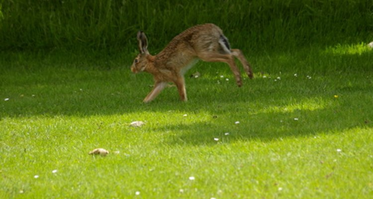 Hares look similar to rabbits, but have longer legs and ears.