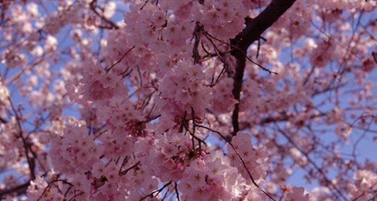 Washington D.C., has several thousand cherry blossoms.