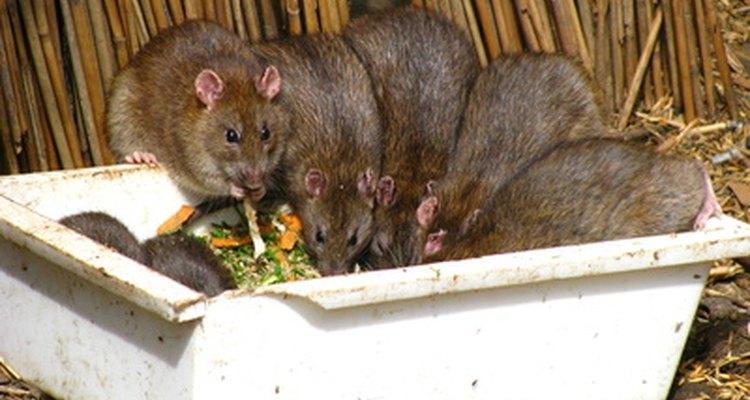 Deshazte de ratas y ratones tan rápido como puedas.