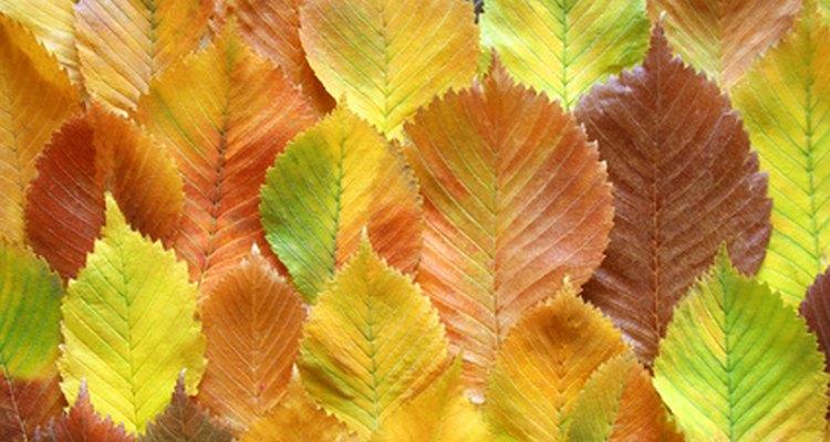 A folha do olmo vermelho é muito similar a da espécie americana
