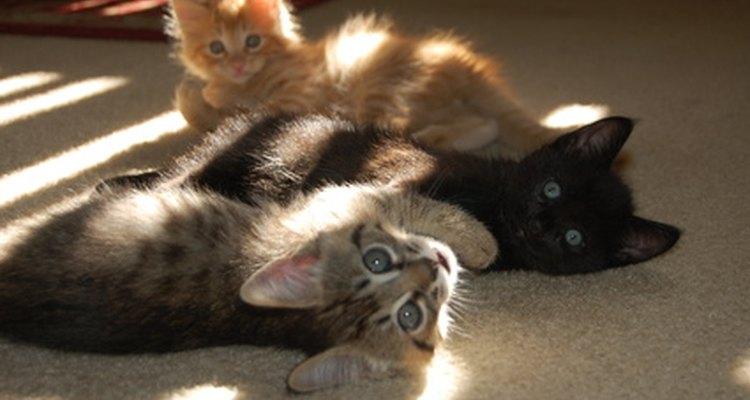 Os gatinhos órfãos necessitam de ajuda para sobreviver
