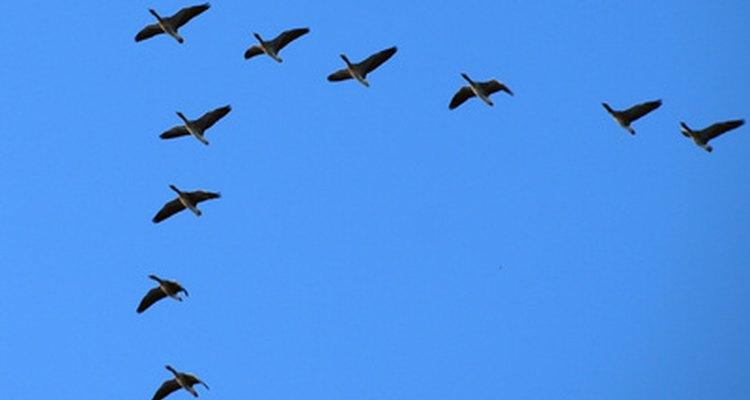 En promedio, los gansos pueden tener una esperanza de vida de casi 25 años.