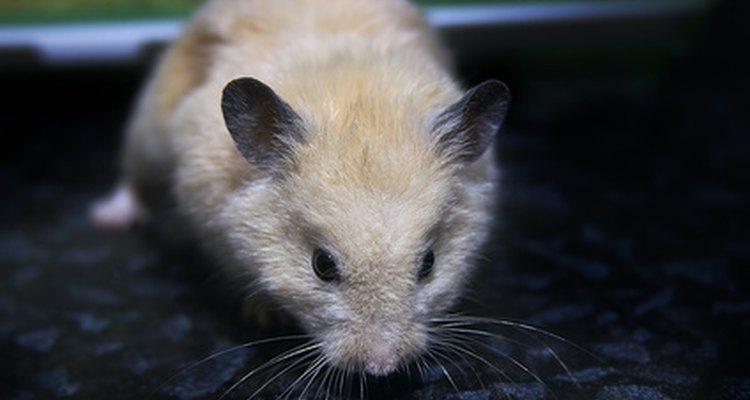 Um hamster que teve um derrame pode ter paralisia temporária