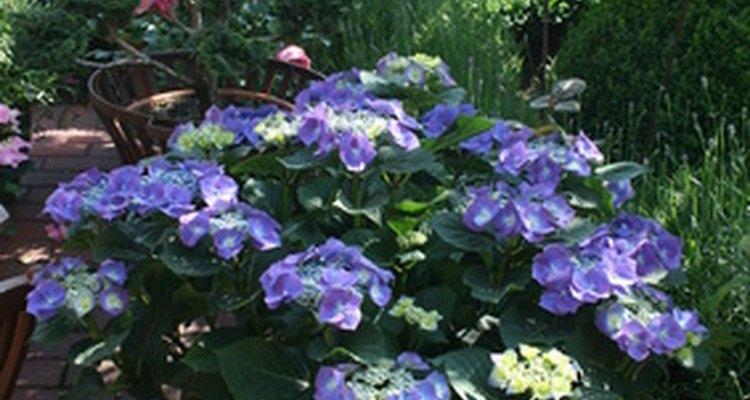Plante as suas hortênsias em canteiros ou em solos bem drenados