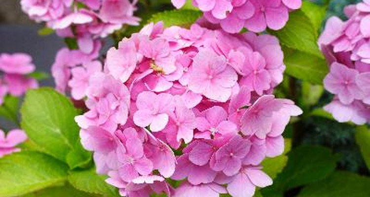 Hydrangea blooms can nearly cover the bush's leaves.