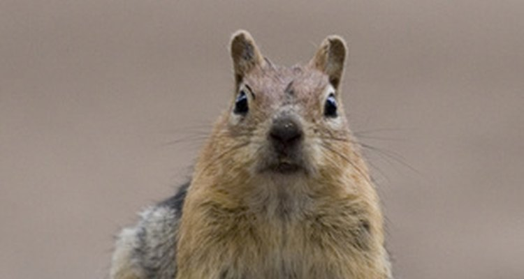 Squirrels often chew lead vent pipes, which can lead to costly repairs.