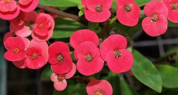 As coroas-de-cristo dão belas flores