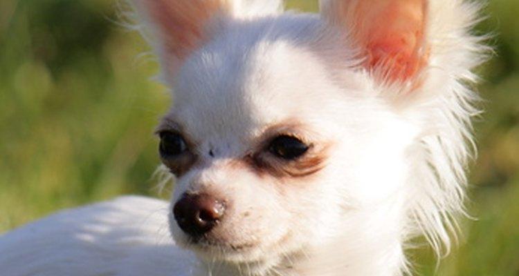 Um chihuahua é metade da mistura entre chihuahua e pequinês