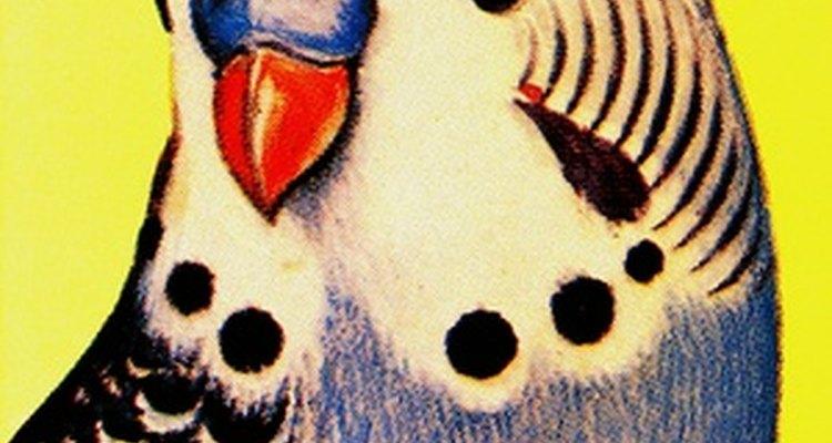 Os periquitos afofam suas penas para manterem-se aquecidos