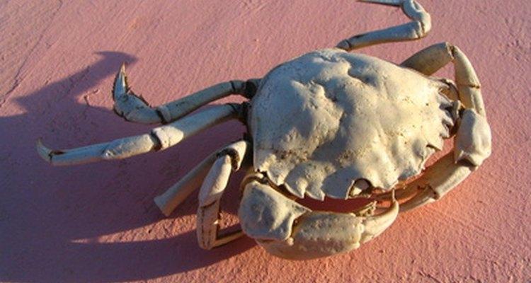 A identificação do sexo de um caranguejo é uma tarefa mais fácil do que se pode imaginar