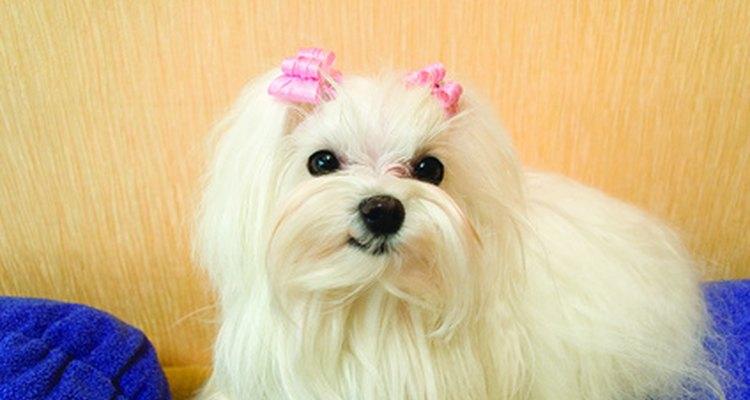 Manter a cadela maltês confinada durante o período fértil é a melhor maneira de prevenir uma gravidez não desejada
