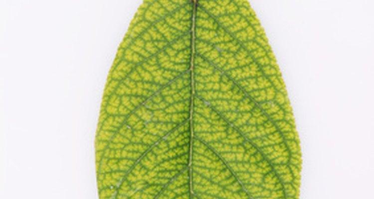 Una hoja de un atrapamoscas puede producir una nueva planta.