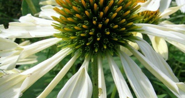 La echinacea es una hierba que se utiliza para la cura de determinadas cuestiones de salud.