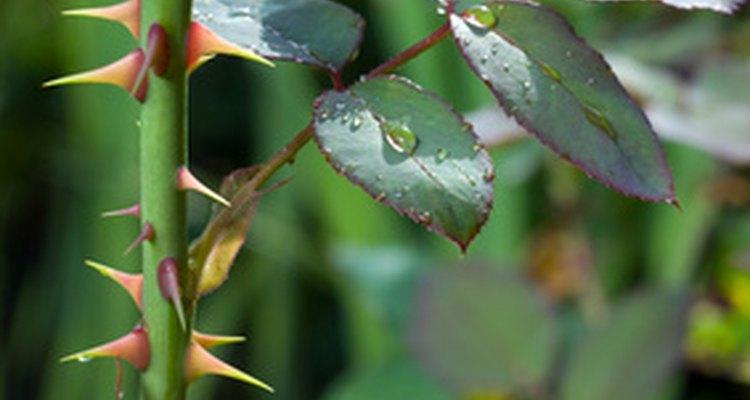 Folhas de roseira descoloridas podem indicar doenças