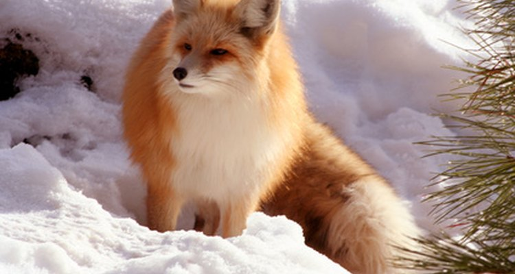 Fox fur comes in a wide range of natural colours.