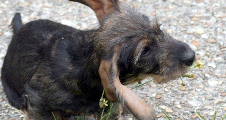 Si tu perro se rasca sus orejas, es posible que tenga una infección.