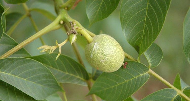 Las nueces son verdes antes de volverse marrones y maduras.